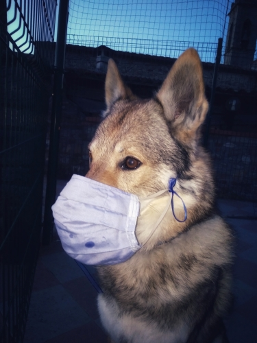 A Czechoslovakian male wolfdog wearing a sanitary mask